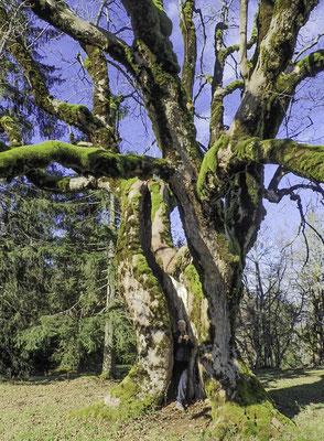 Der riesige Bergahorn bei der Metairie de Gleresse