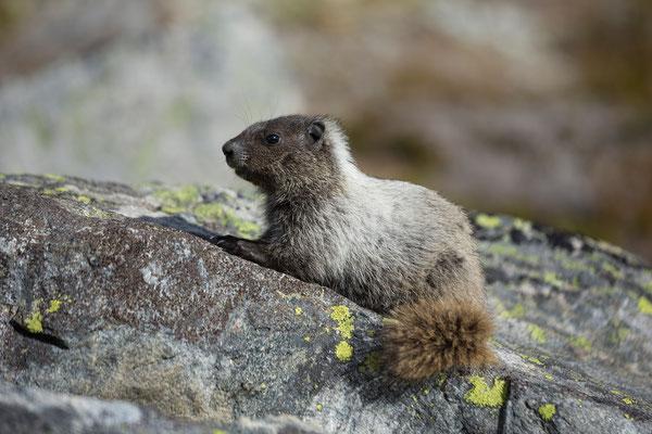 Marmot, Nirvana Pass