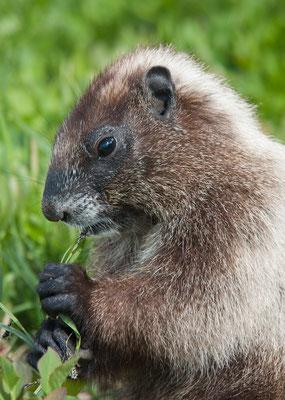 Marmot, Paradise