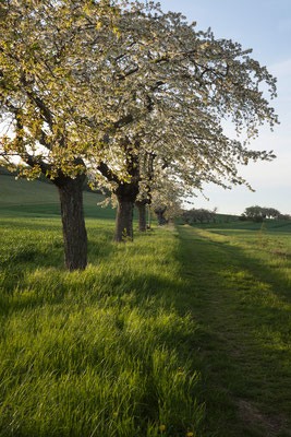 Kirschenallee am Filsberg