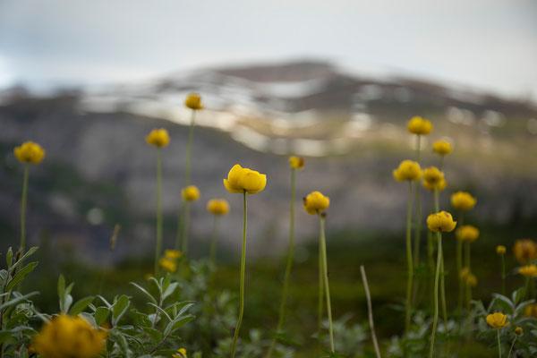Trollblumen am Pikhaugan, Svartisen NP