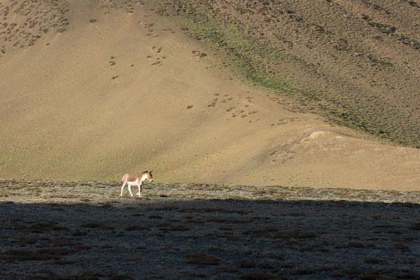 Kiang (tibetischer Wildesel) am Yar La