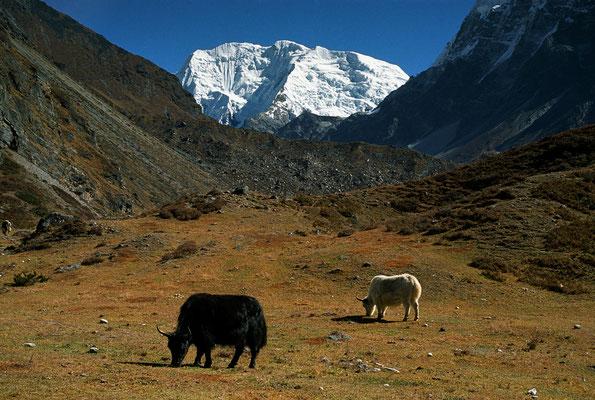 Yaks mit Pemthang Karpo Ri, Langtang, Nepal