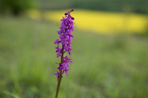 Stattliches Knabenkraut (Orchis mascula)