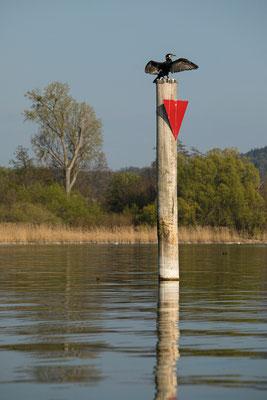 Kormoran an Seefelder Aachmündung, Bodensee