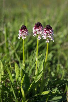 Brand-Knabenkraut (Neotinea ustulata)