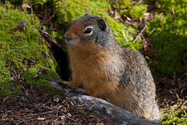 Squirrel, Glacier National Park