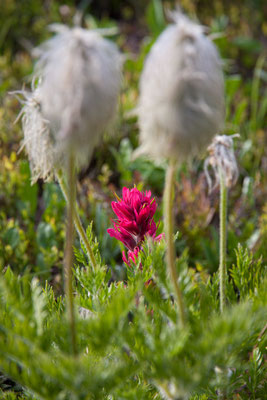 Magenta Paintbrush, Pasqueflower Seedhead