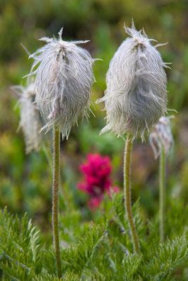 Pasqueflower Seedhead, Magenta Paintbrush