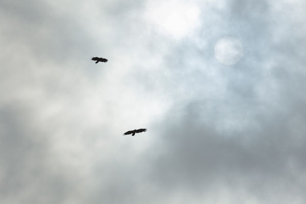 Grönland Seeadler