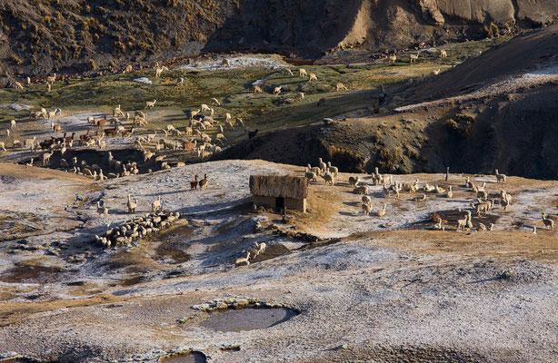 Alpakas, Vilcanota, Peru