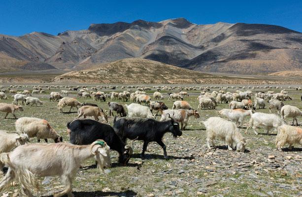 Schafe am Zogoang, Rupshu