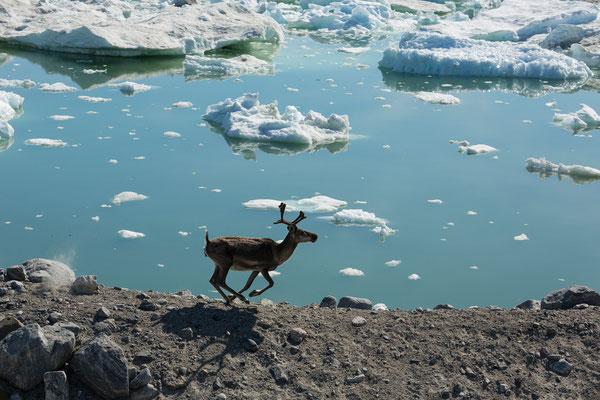 Rentier am Kangersuneq, Grönland