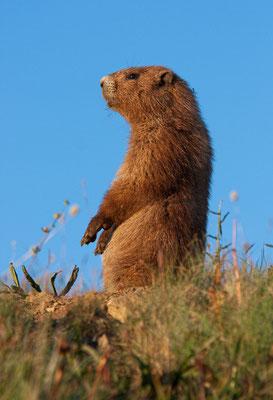 Marmot, Huricane Ridge, Olympic NP