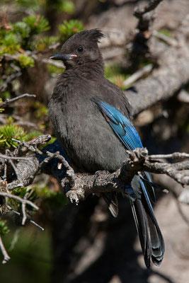 Steller's Jay (Diademhäher), Paradise