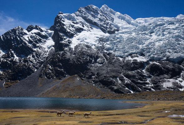 Alpakas, Jatun Pucacocha mit Auzangate, Vilcanota, Peru
