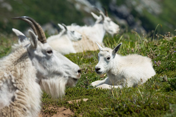 Mountain Goats, Sahale Arm