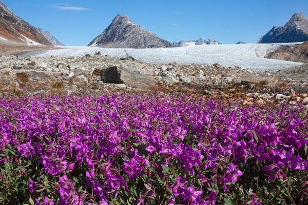 Kaarali-Gletscher mit arktischem Weidenröschen