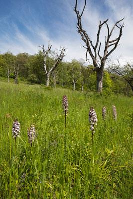 Purpur-Knabenkraut (Orchis purpurea) am Finnberg