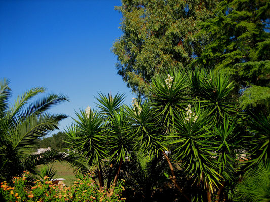 Yukka-Palmen blühen