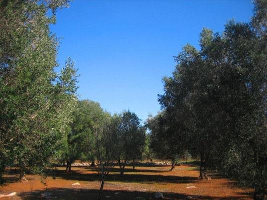 Der zum Anwesen gehörende Olivenhain