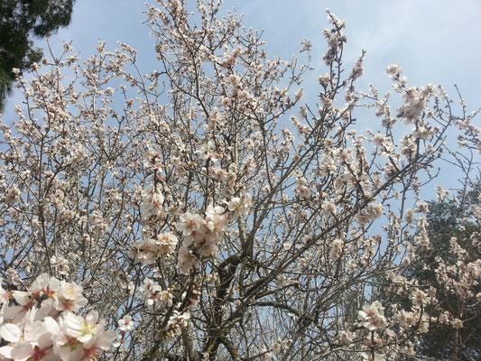 Mandelbaum-Blüte