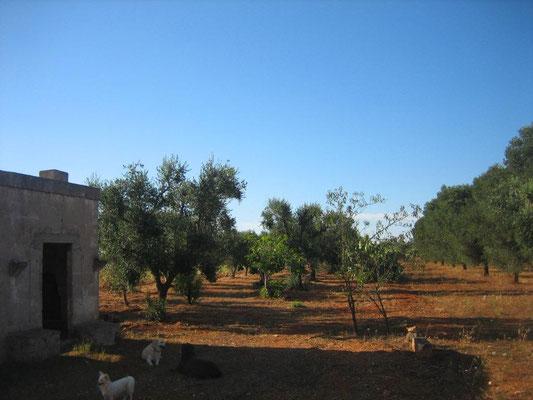 Rustico im Olivenhain 2