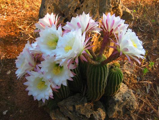 Kakteen-Blüte im Garten