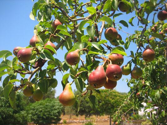 . . . die eigenen Birnen