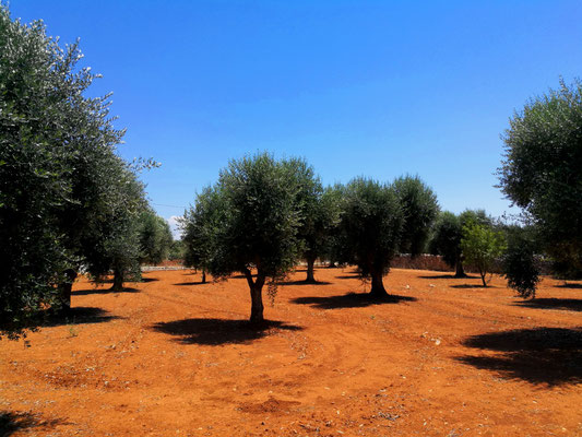 Olivenhain Nr. 1