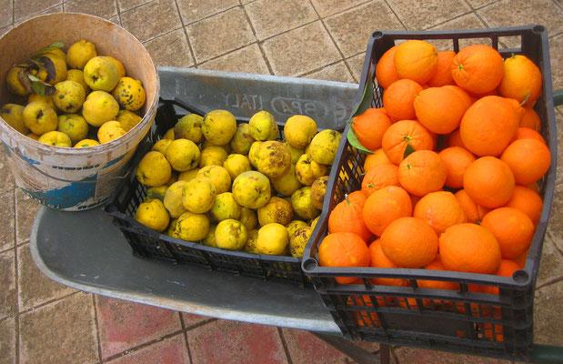 selbst geerntete Quitten und Orangen