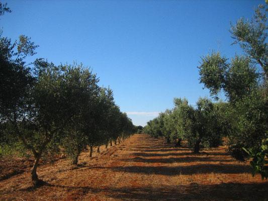 Olivenhain 2