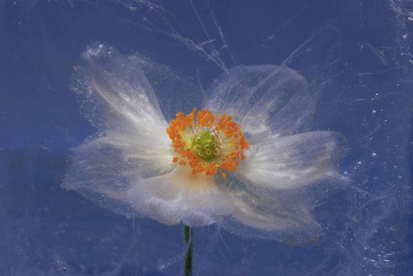 """""Herbstanemone""©Kurt Edler"