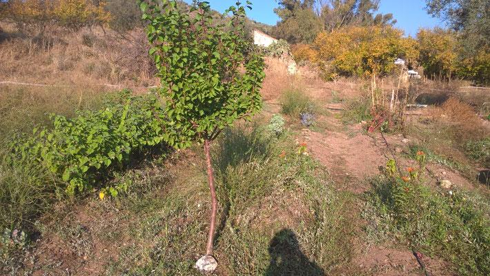 Aprikosenbaum von Thomas Feyrer