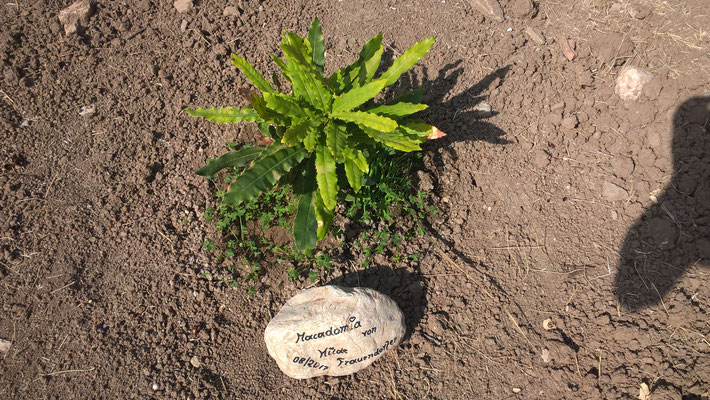 Frauendorfer Hilde Macadamiabäumchen, ist zwar noch klein und braucht bis es wächst, jedoch ist es die Königin der Nüsse
