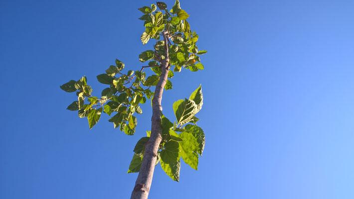 Myrta, der Baum ist bereits so groß. Als ganzes passte er nicht auf das Bild. Es war die erste Spende die wir bekamen. Gut ein Jahr her (Frühjahr 2016?)