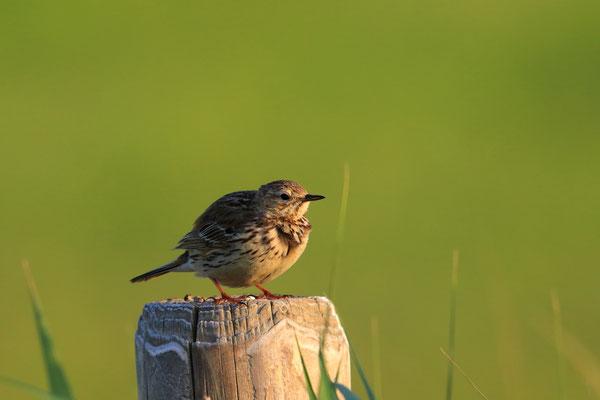 Wiesenpieper: Früher häufiger Brutvogel in den Auen ist der Wiesenpieper im Wetteraukreis ausgestorben.