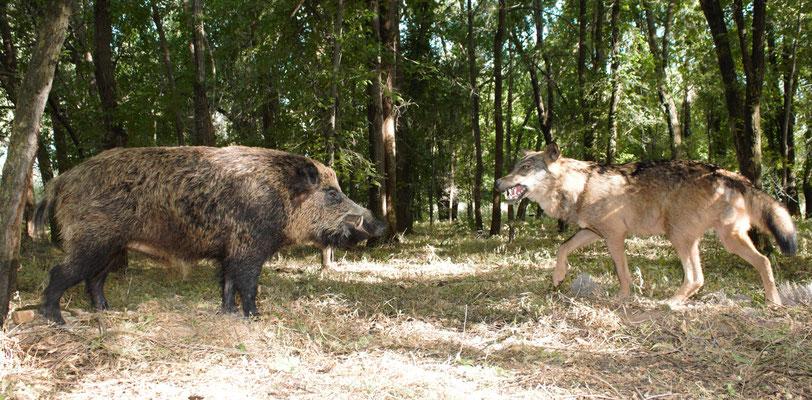 Jabalí y lobo