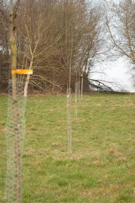 Die frisch gepflanzten Bäume (Foto: Roland Steinwarz)