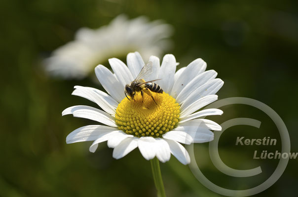 Wildbienen, Wespen, Insektenhäuser