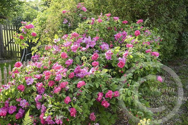 Wildgehölze Rosen
