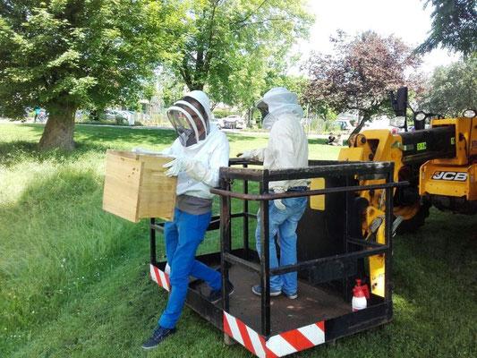 Bienenschwarm fangen im Schlosspark Schorndorf mit Hilfe einer Hebebühne