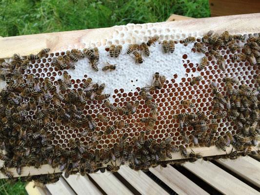 Honigrähmchen Dadantmaß mit Bienen, verdeckeltem und offenem Honig