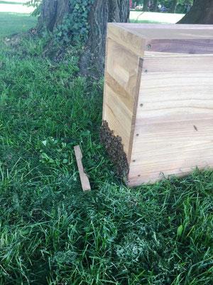 Bienenschwarm sammelt sich in Dadant-Ablegerkasten