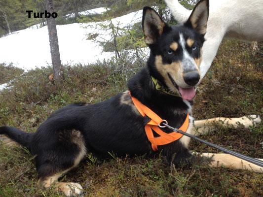 Alaskan Husky Turbo