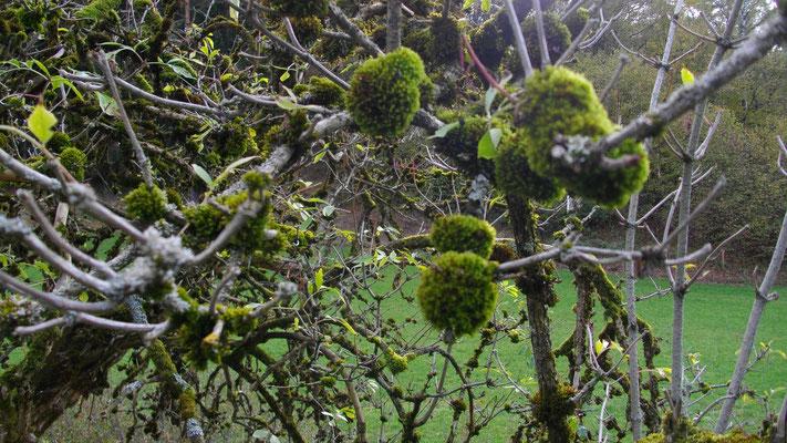Mein »Mooskugelfrucht-Baum«