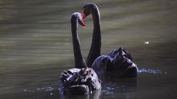 Das Trauerschwan-Paar im Schlosspark Fantaisie