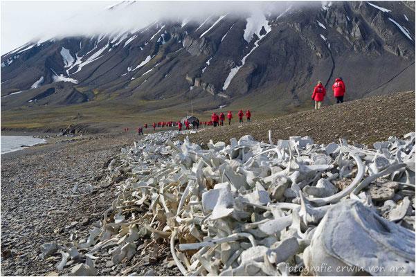 Hunderte von Beluga Knochen aus früheren Zeiten. Heute ist alles geschützt