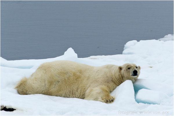 Welch ein Glück! Ein dritter Eisbär gibt uns die Ehre