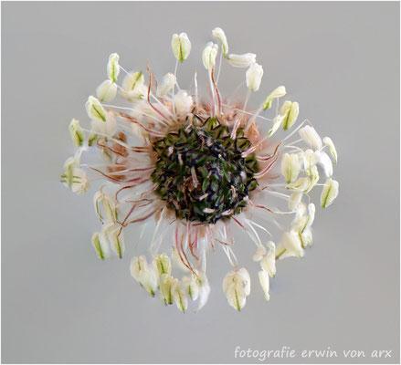 Zpitzwegrich-Blüte